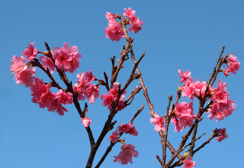 宮古島の桜と青空